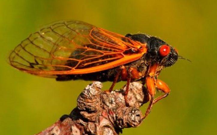 """Counterfeit News Network (CNN) wirbt für den Verzehr gefährlicher quecksilberhaltiger Zikadenkäfer, die seit 17 Jahren unter der Erde leben, als """"Zukunft der Nahrung"""""""