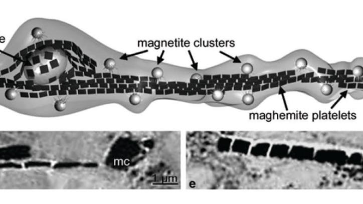 Magnetit im menschlichen Gehirn kartieren